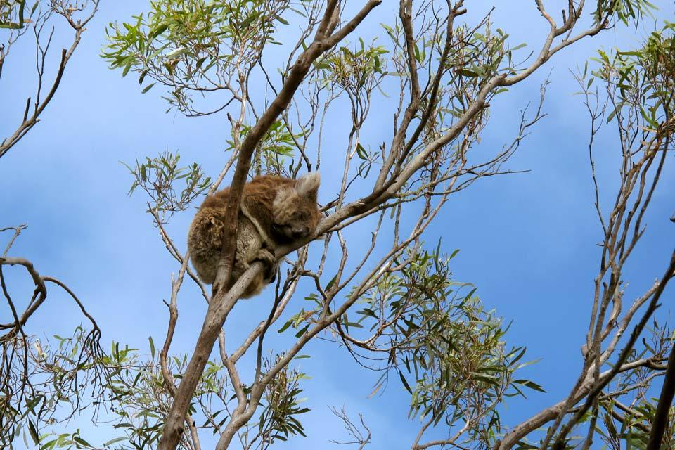 Kangaroo Island , Les koalas , Australie