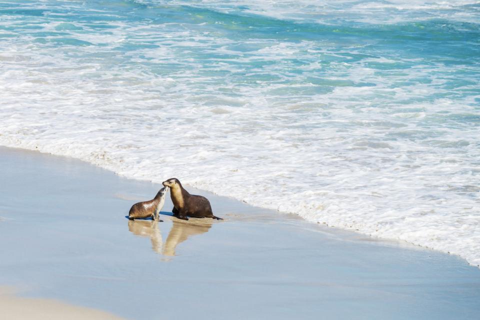 Les lions de mer , Australie