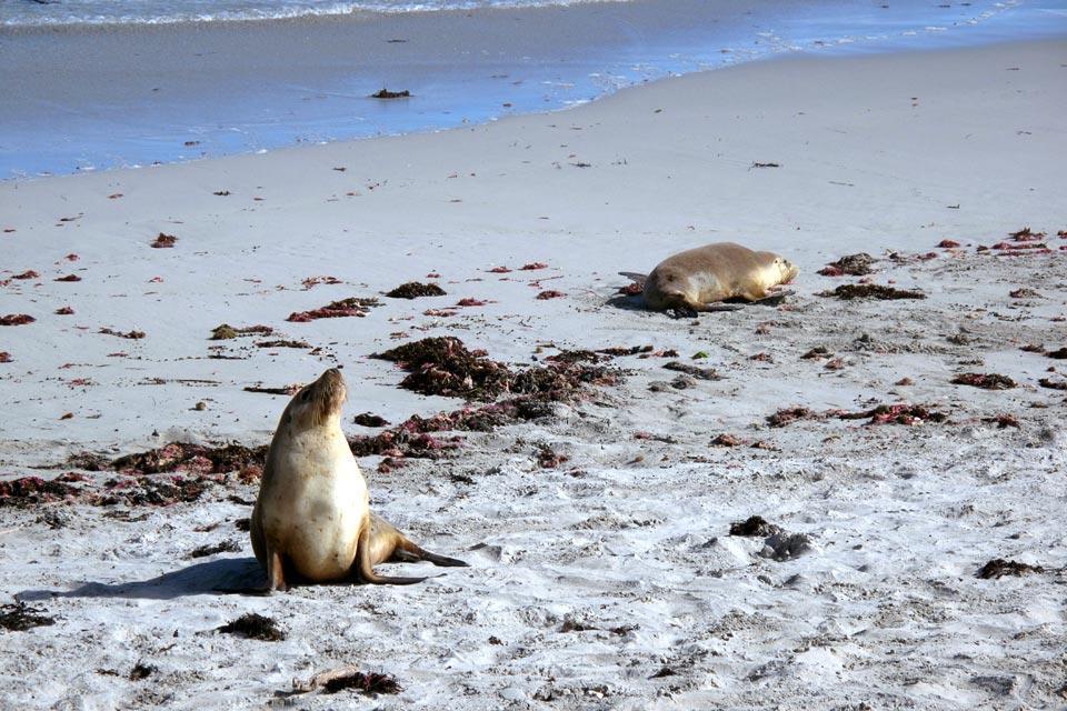 Les lions de mer , Liens familiaux , Australie