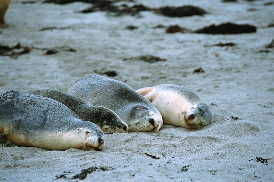 Les lions de mer , Le cri du lion de mer , Australie