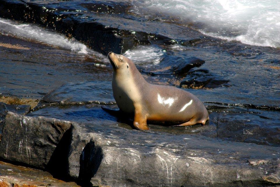 Les lions de mer , Un repos bien mérité , Australie