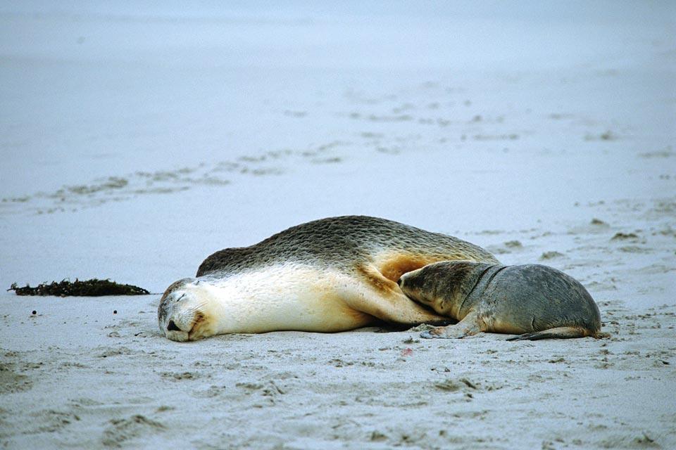 Les lions de mer , La crinière du lion , Australie