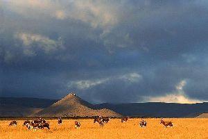 El Parque Natural de Karoo , El ñu de cola blanca , Sudáfrica