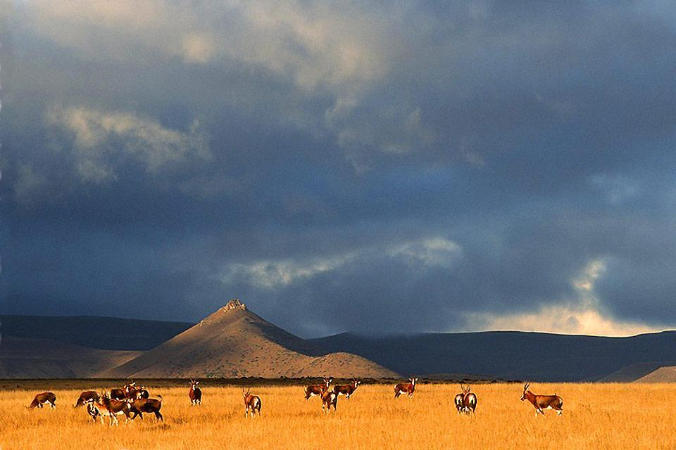 Il Parco naturale del Karoo , Lo gnu dalla coda bianca , Sudafrica