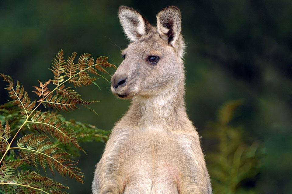 Grampians National Park , Les kangourous des Grampians , Australie