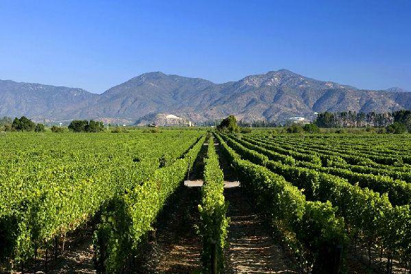 Le vigne , Il vino cileno , Cile