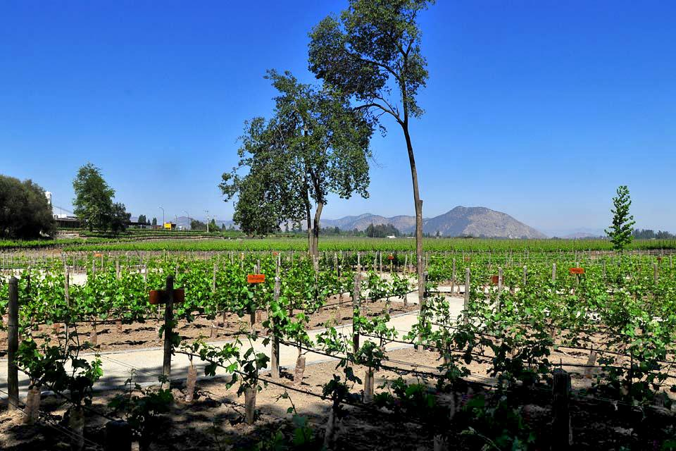 Las viñas , Chile