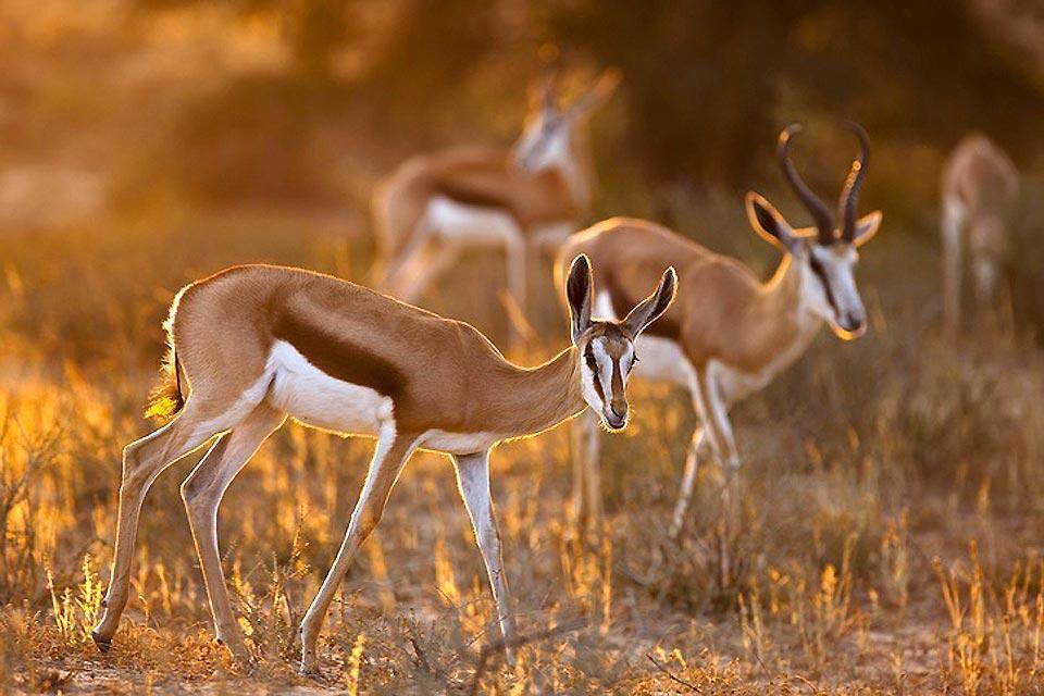 La riserva del Capo di Buona Speranza , I bontebock del Capo , Sudafrica