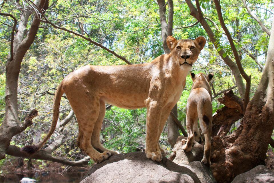 Les parcs et les réserves, Casela, casela world of Adventures, maurice, île, ile, faune, zoo, animal, lion, félin