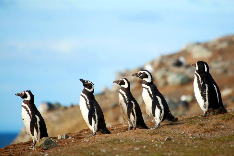 El Parque Nacional de Los Pingüinos , Chile