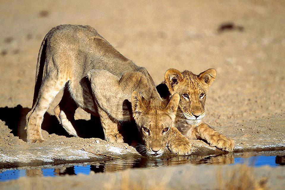 Il Parco nazionale Kalahari Gemsbok , Il Parco Kalahari Gemsbok , Sudafrica