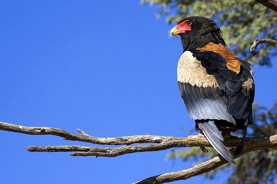 Le Parc national Kalahari Gemsbok , Faune et flore du parc Kalahari Gemsbok , Afrique du Sud