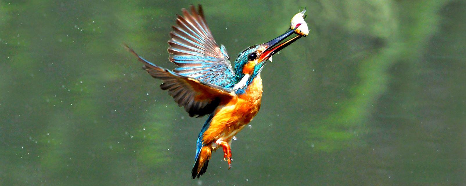 La faune et la flore, Martin Pêcheur oiseau
