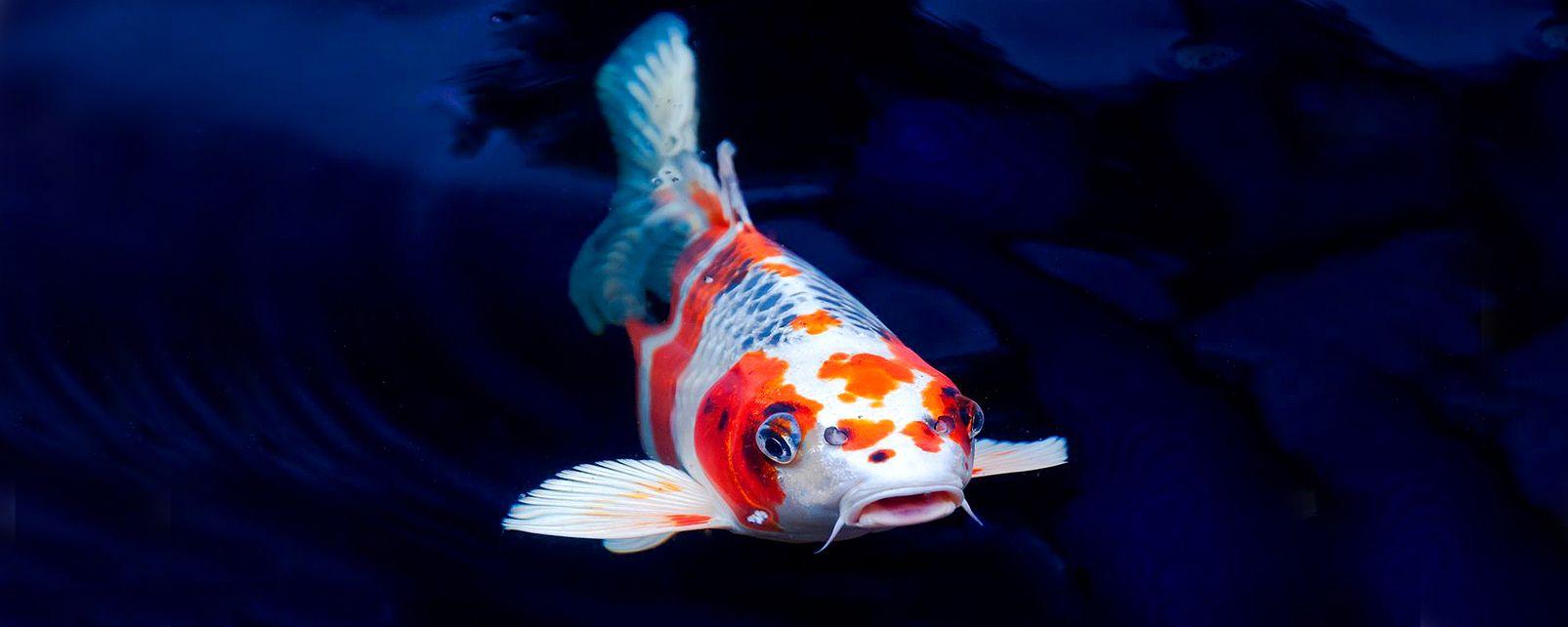 La faune et la flore, Asie Taiwan Taïwan faune animal faune aquatique carpe