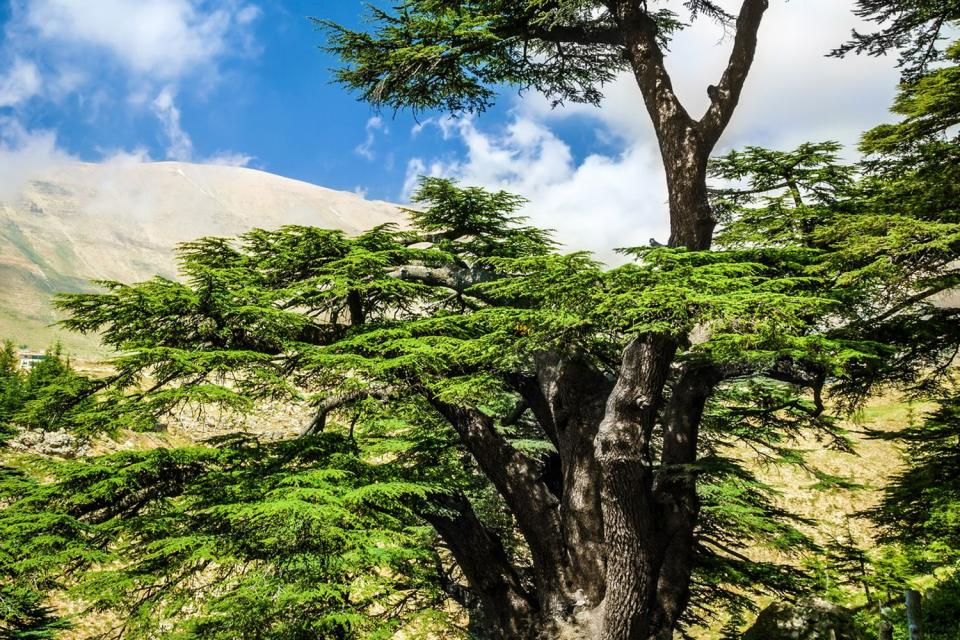 Les cèdres du Barouf au Chouf , Liban