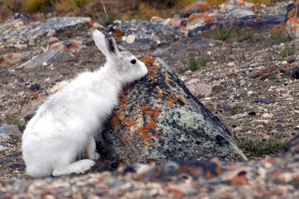 Los mamíferos , Canadá