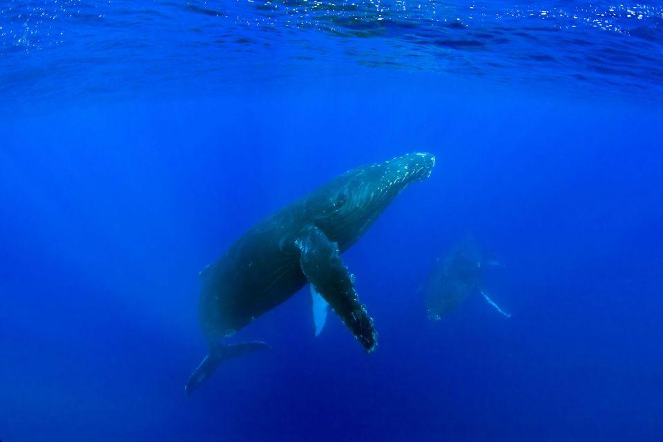 La baleine à bosse, La faune d'Hawaï, La faune et la flore, Hawaï