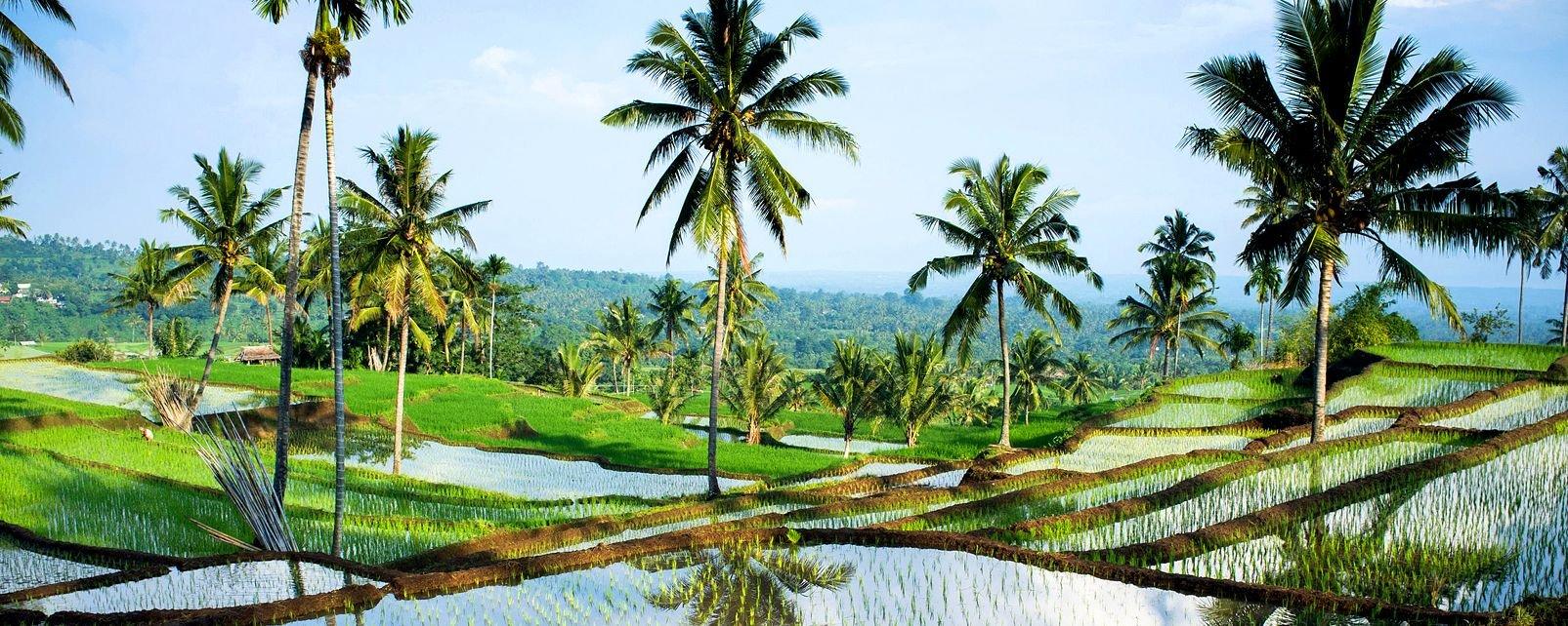Les rizières de Tetebatu , Indonésie