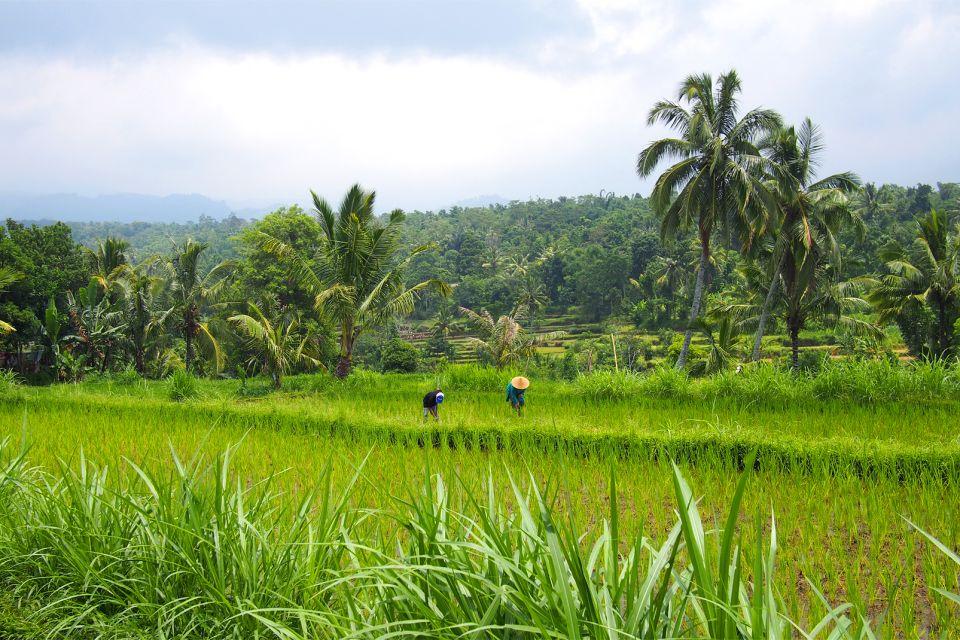 Le risaie di Tetebatu , Indonesia