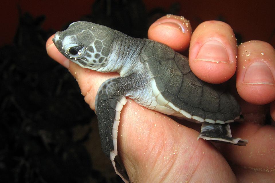 Le tartarughe , Indonesia