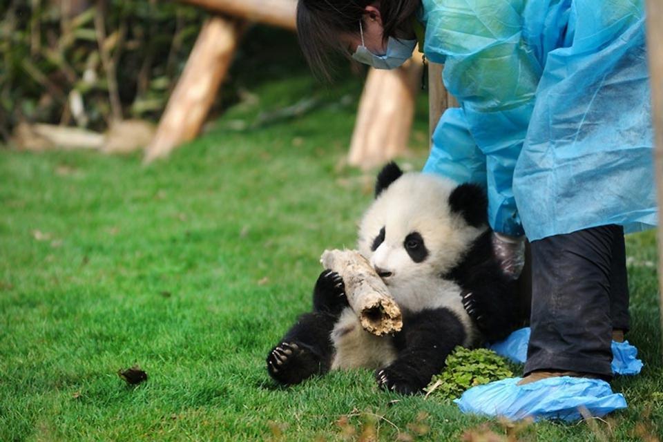 Il parco zoologico (Dongwuyan) , Cucciolo di panda gigante , Cina