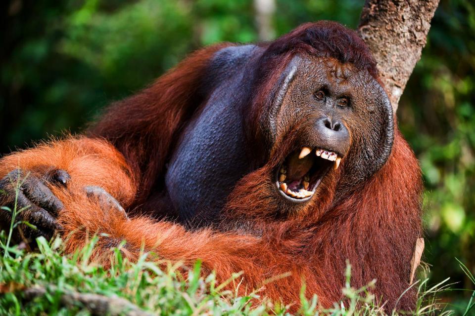 Les orangs-outans , Indonésie