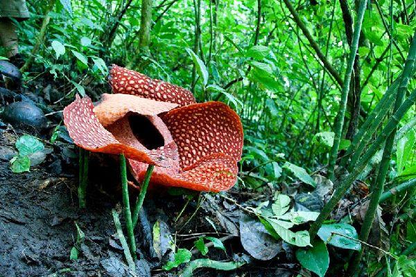 La Rafflesia , Indonésie