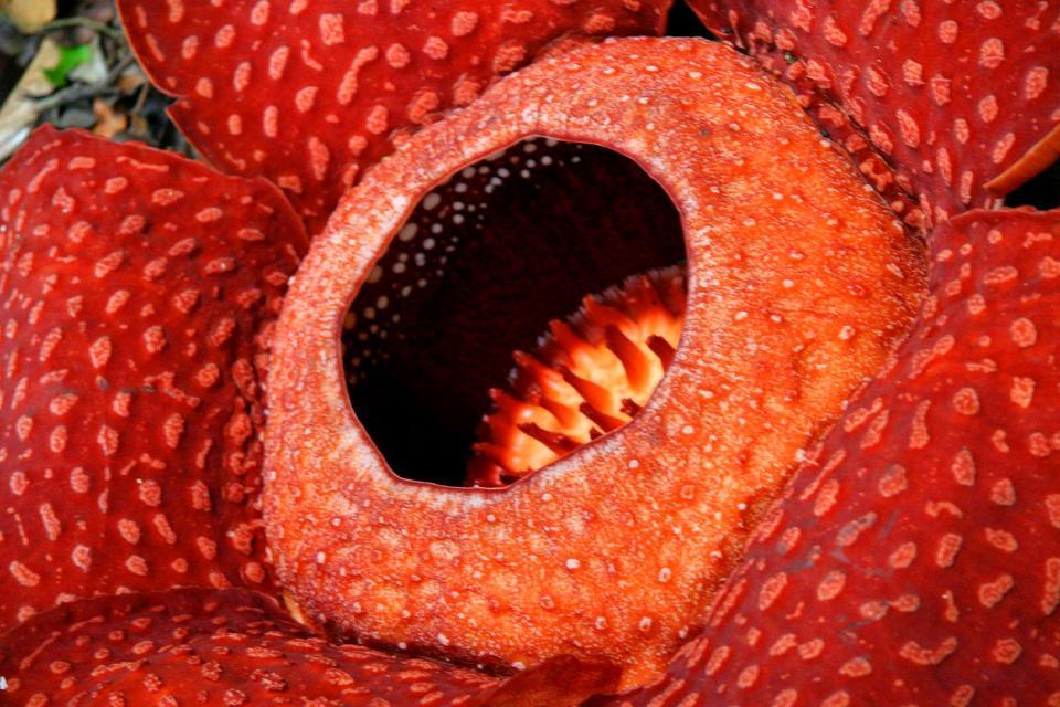 La Rafflesia , Indonesia