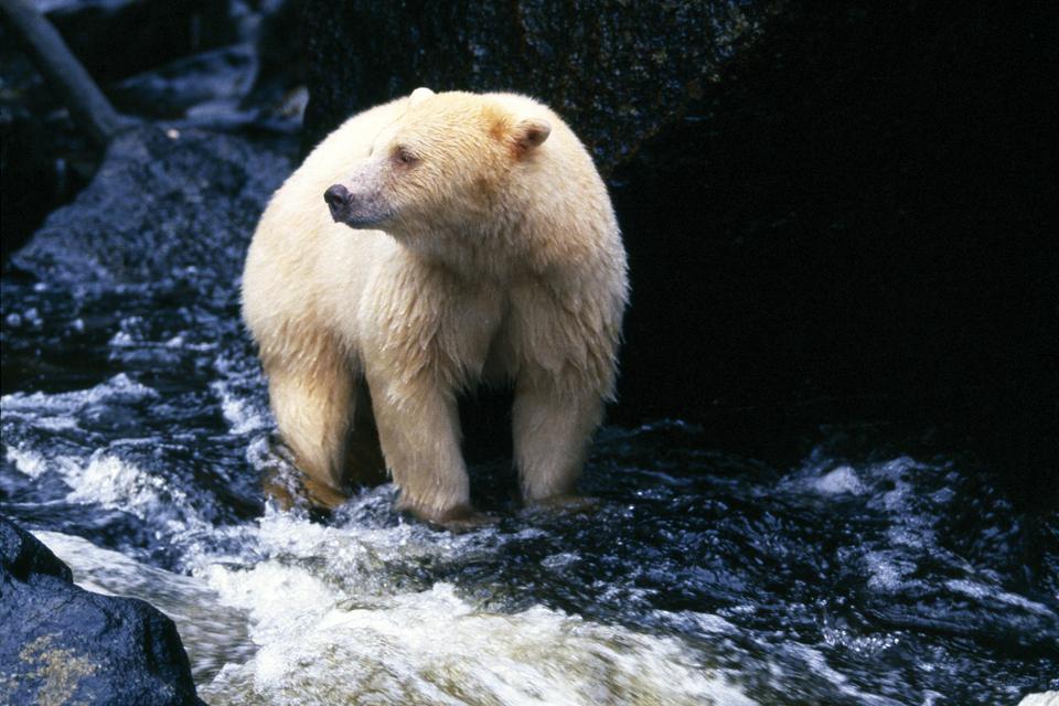 L'ours Kermode , Canada