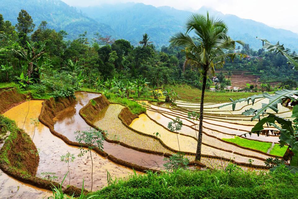Les rizières , Indonésie