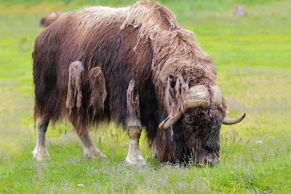 Large mammals , United States of America