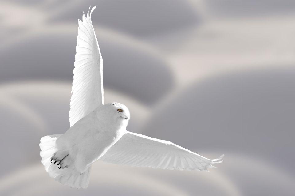 Les oiseaux , Etats-Unis