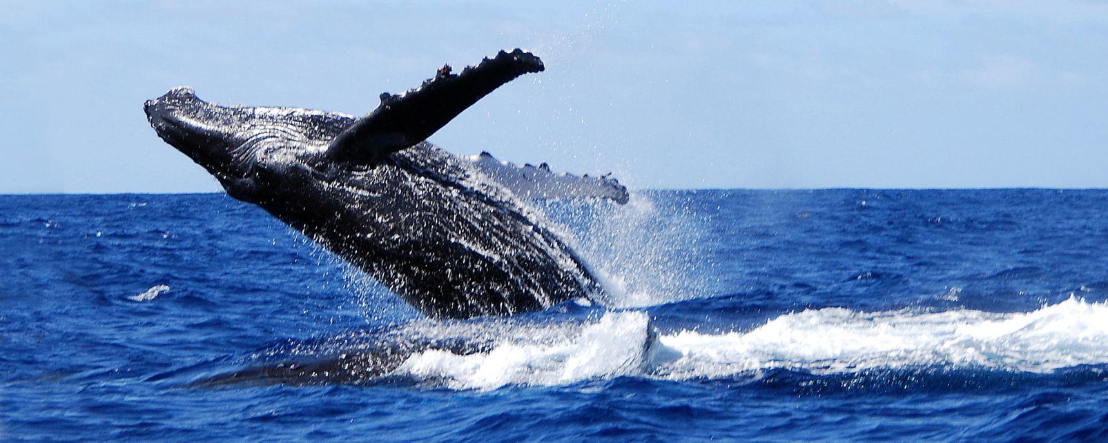 , Las ballenas jorobadas, Fauna y flora, Polinesia Australes