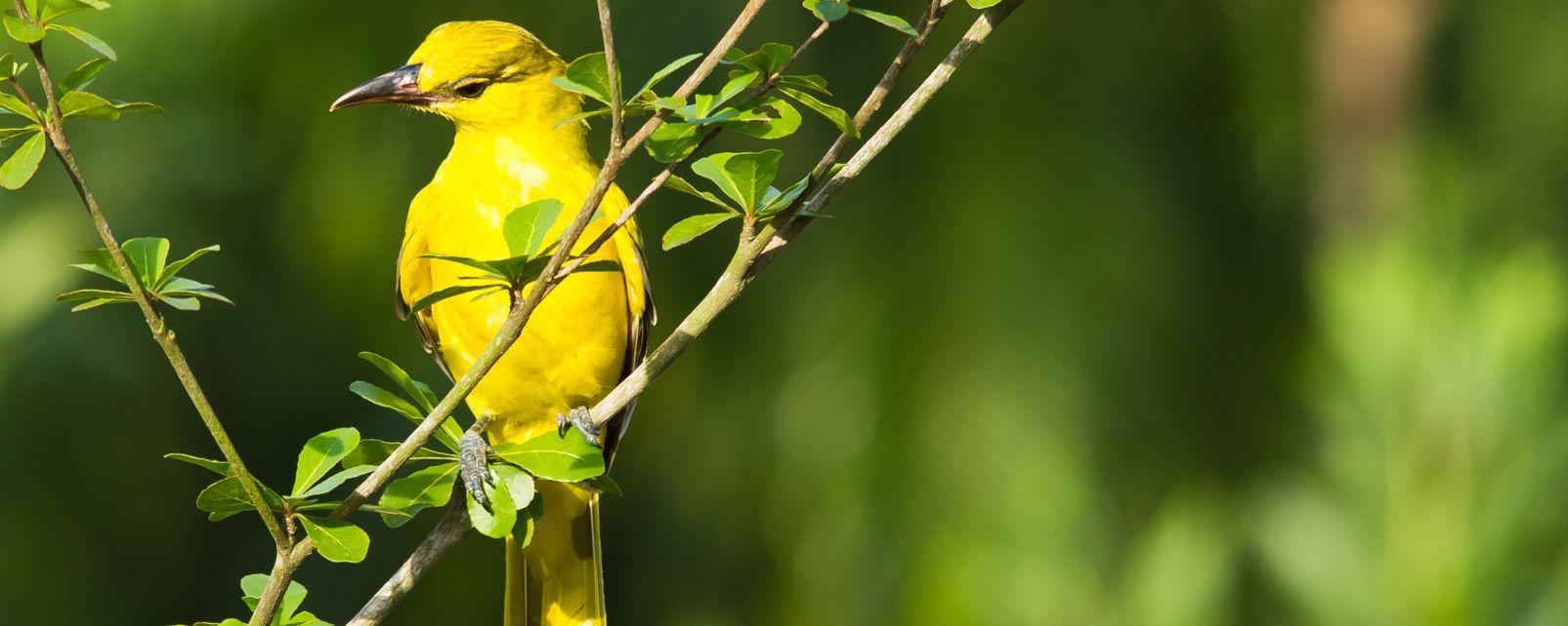 Las aves, Fauna y flora, Polinesia Australes