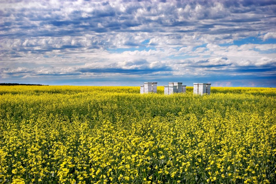Les paysages, bee, honey, canola, hives, beehive, yellow, scenic, summer, agriculture, landscape, sunshine, field, flowers, rural, apiary, prairie, gilbert plains, dauphin, manitoba, canada