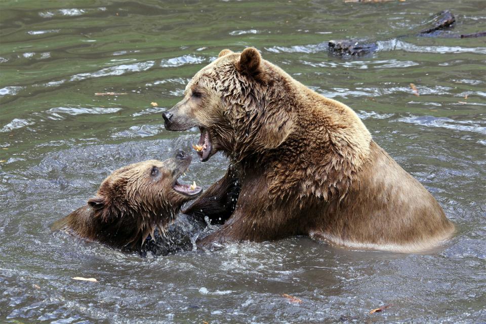 Le grizzli , Canada