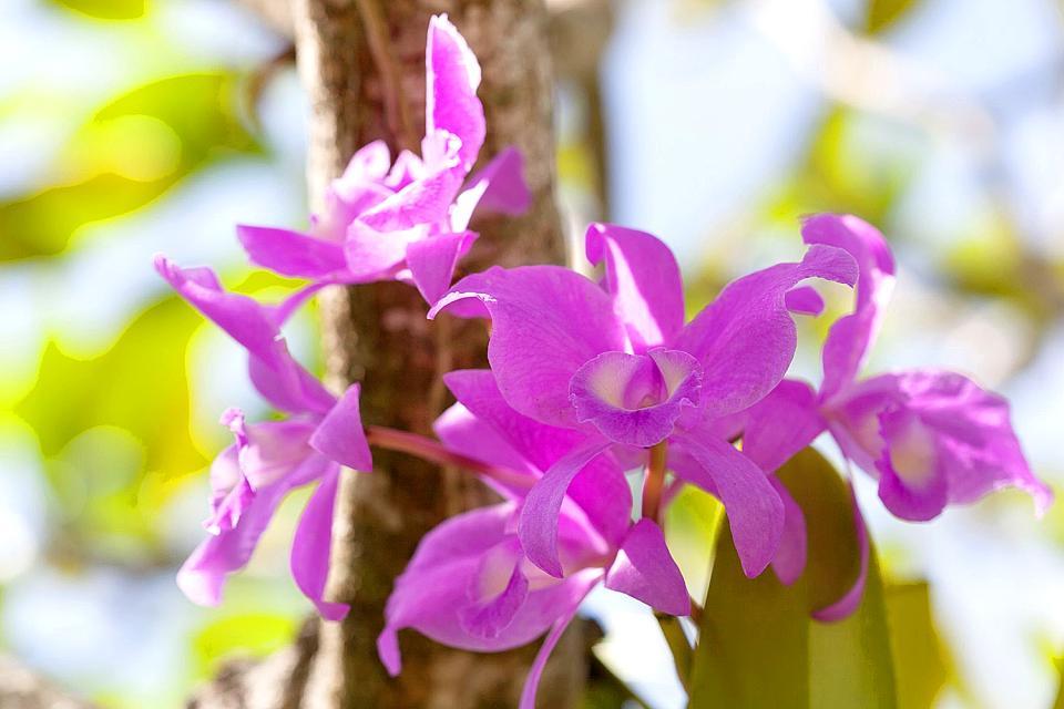 Die Flora , Indonésie