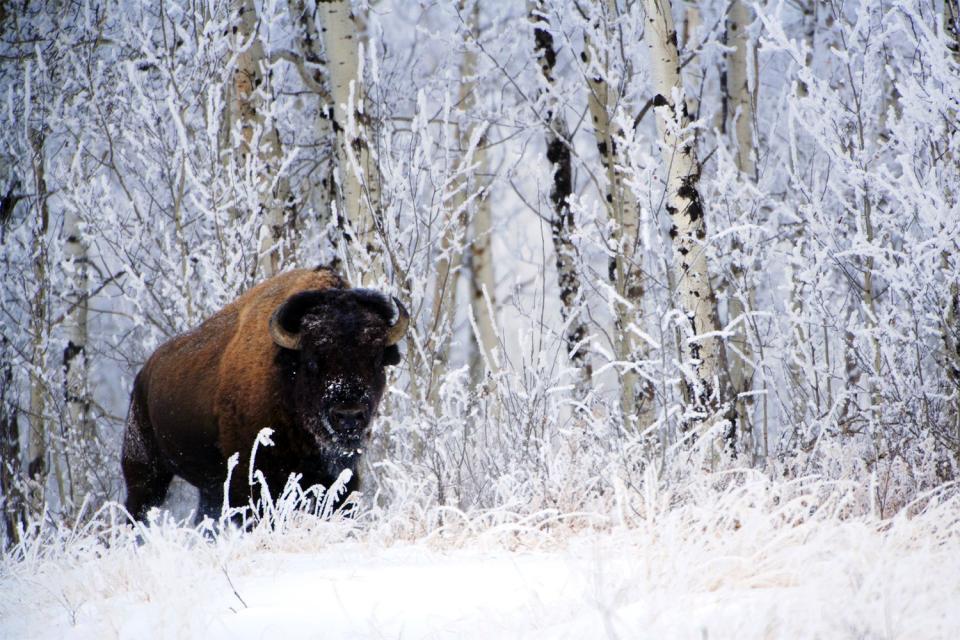 Les bisons , Canada