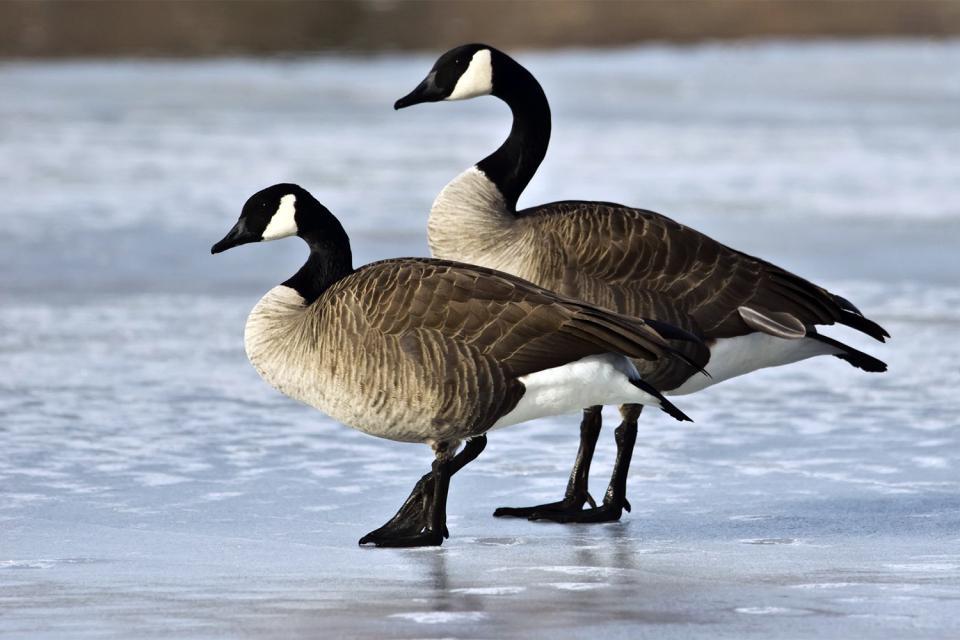 Las aves , Canadá