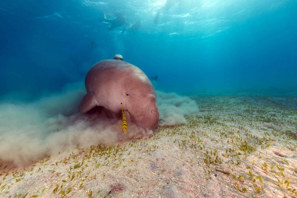 Le dugong , Inde