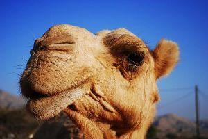 El dromedario marroquí , Marruecos