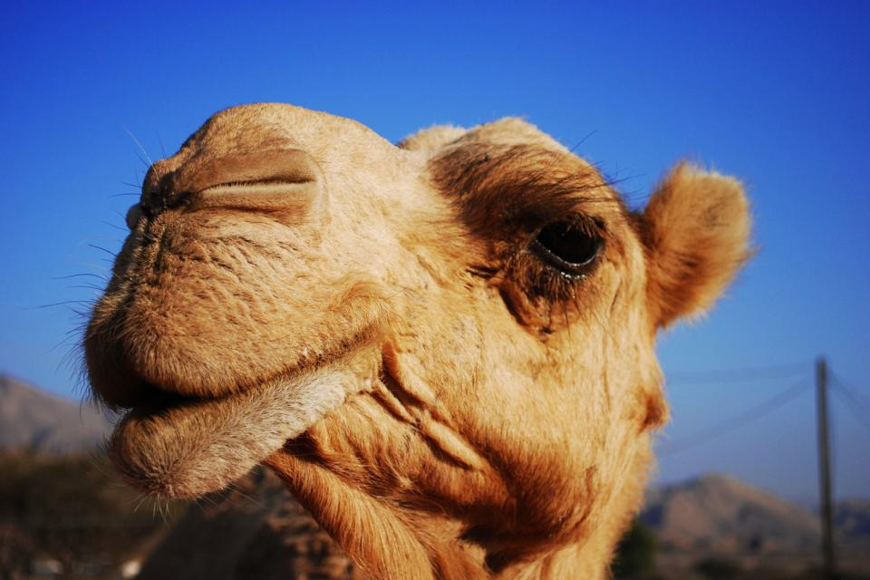 Morocco's camels , Morocco