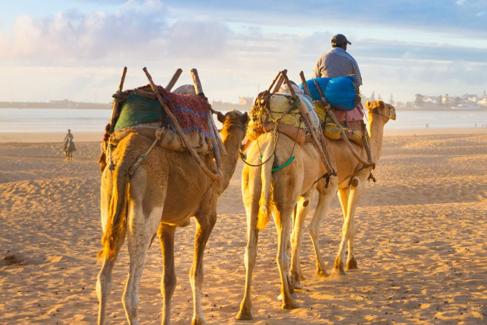 Le dromadaire marocain , Maroc