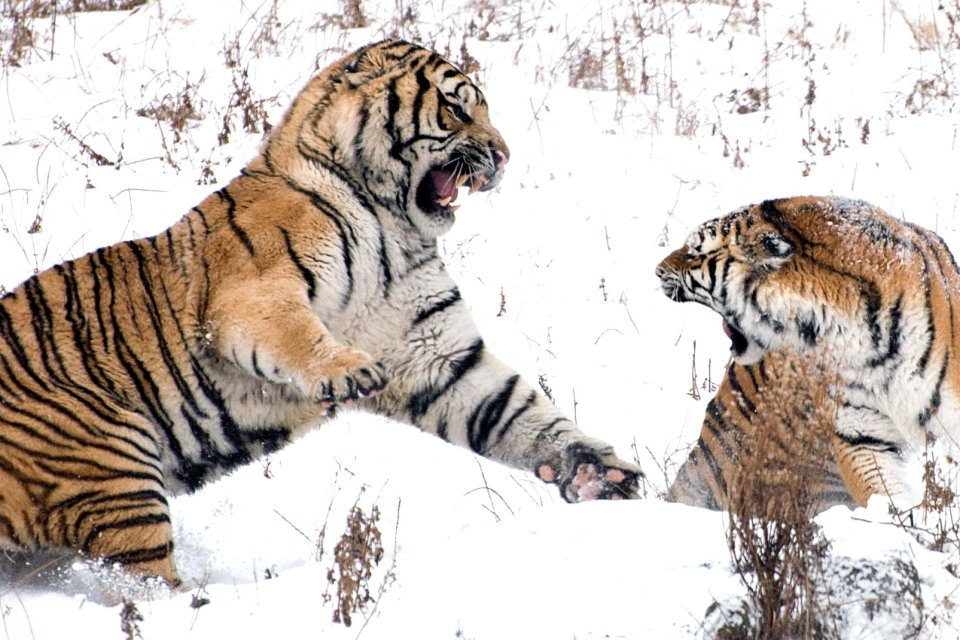 , La tigre del Bengala, La fauna, Le province dell'Ovest
