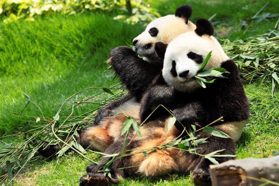 Riesen Panda