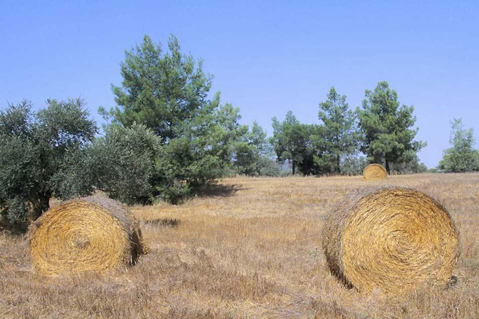 The Mésoré Plain , Wheat field , Cyprus