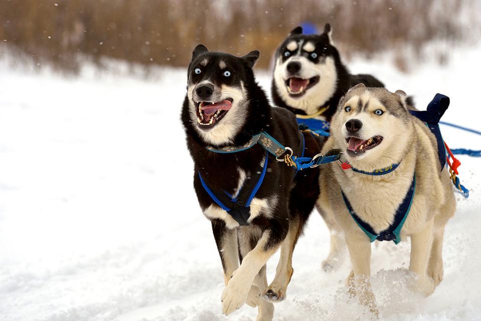 Le passeggiate a bordo della slitta trainata dai cani , Russia