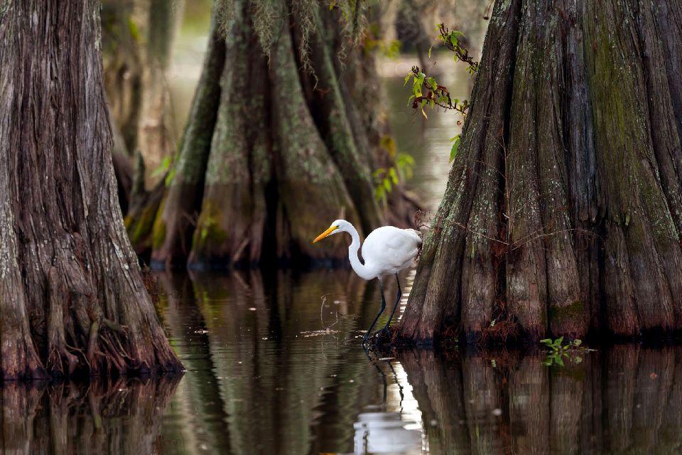 Les bayous de Louisiane , Un paradis pour les passionnés d'ornithologie , Etats-Unis