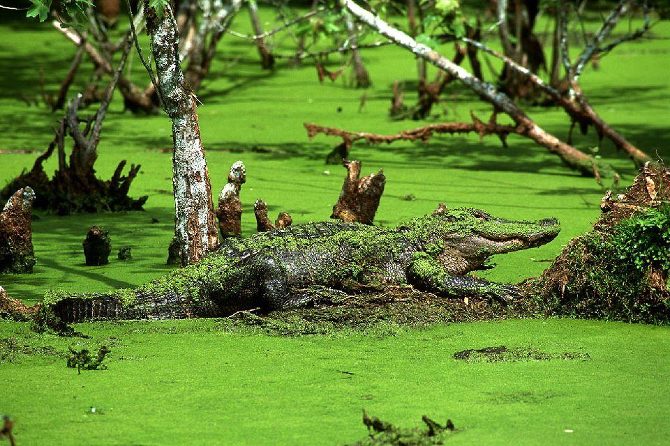Les bayous de Louisiane , L'alligator des Bayous , Etats-Unis