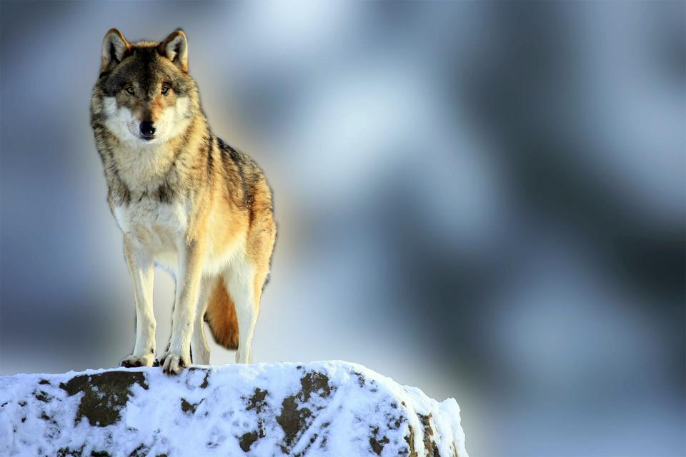 La fauna , Canadá